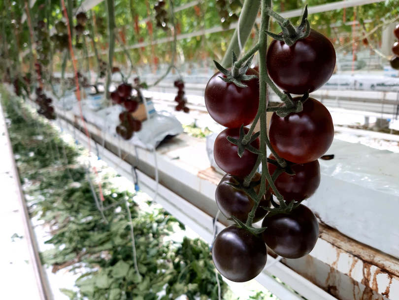 Betört a magyar piacra a sötétlila paradicsom - krónika