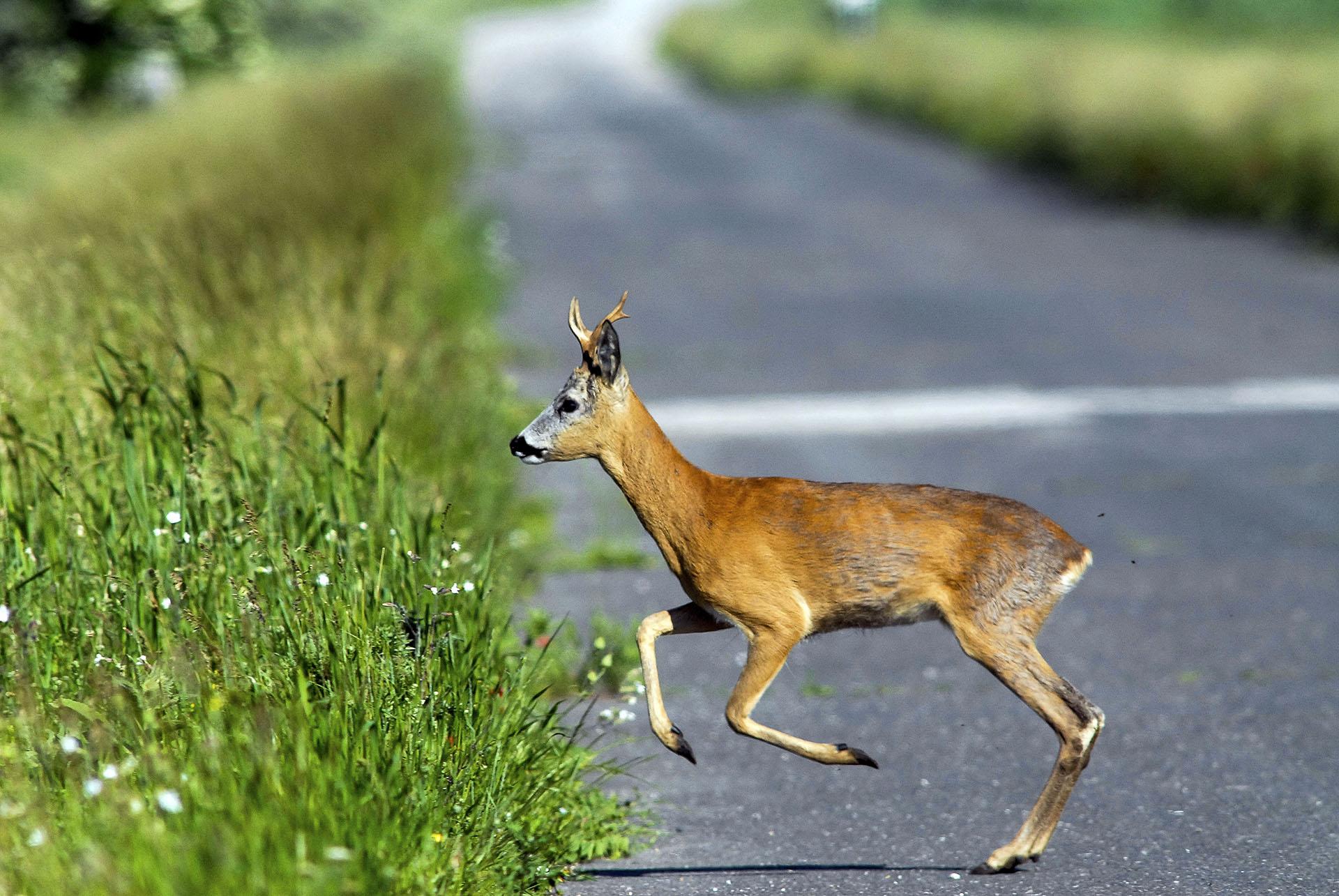 Az őzek násztáncot járnak, vigyázzanak az utakon 2