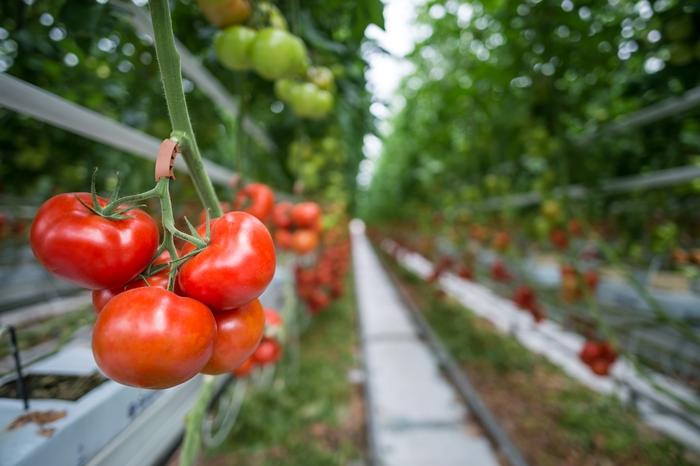 Ha télen is termel paradicsomot 6 ezer eurót támogatást kaphat